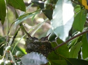 Baby hummingbirds outside my window