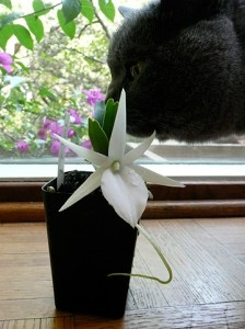 Angraecum didieri attracting the wrong kind